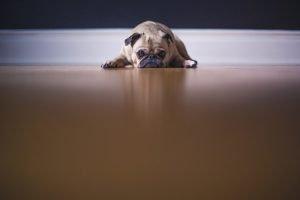 Pug on a floor.
