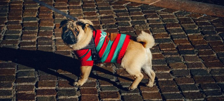 a pug wearing a sweater and on a leash on the road as one way to prepare pets when moving with dogs